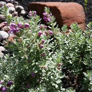 HDG Landscape Design Texas Sage