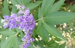 HDG Landscape Design Vitex Tree