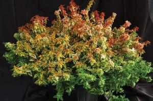 Abelia X Grandiflora Hdg Landscape Design Llc