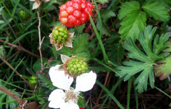 Blackberry Plant - HDG Landscape Design