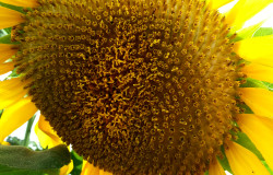 Mammoth Sunflower - HDG Landscape Design