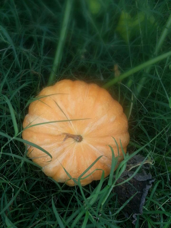 Pumpkin - HDG Landscape Design